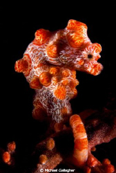 Bargibanti pygmy seahorse by Michael Gallagher 
